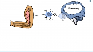 Students drag nerve cells together to create synapses.
