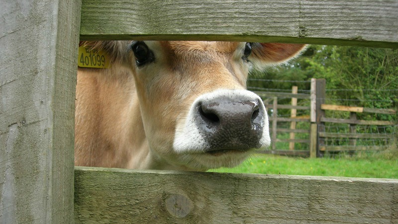 cow from math website